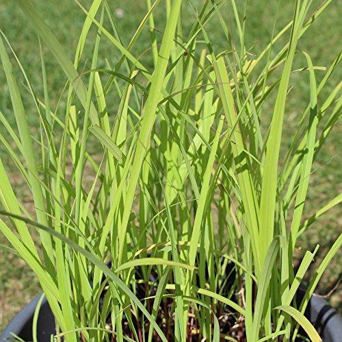 250 Samen Zitronengras – Cymbopogon Flexuosus, tropisches Würzgras