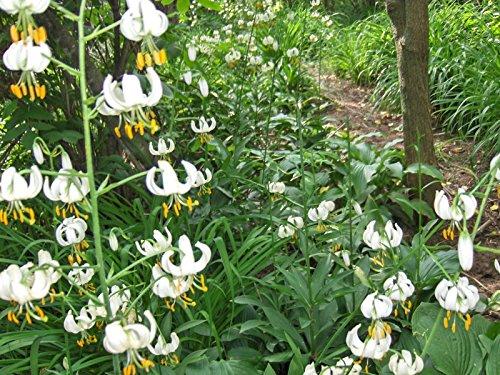 ot von 25+ Mix Weiß Hybrid Martagon Lilie Samen, Türken Cap, Stauden Hardy Shade