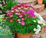 Charm4you Jardín Planta en Maceta perenne,Semillas Florales de Interior y Exterior-Persi 200 cápsulas,Semillas de Flores Balcones