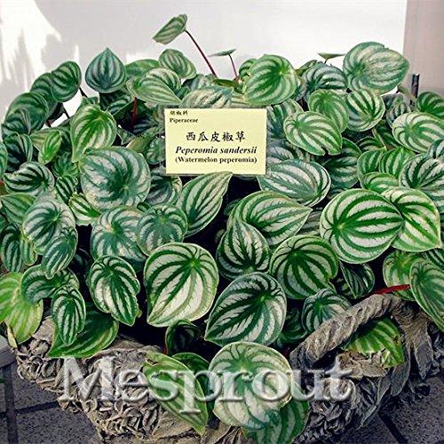 100pcs rares graines Peperomia EXOTIQUE graines de fleurs melon feuilles cadeau bonsaï décoration Maison & Jardin