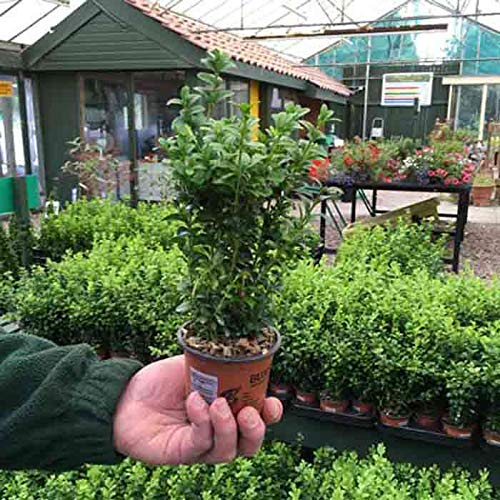 Box of 18 15-25cm tall Pot Grown Evergreen Buxus sempervirens Hedging Plants (a266)