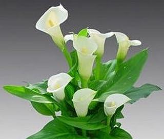 Hermosa semilla blanca de la cala 80 semillas -BUY 4 ARTÍCULOS