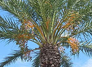 HOT!! - 10 Canary Island Date Palm Phoenix Reclinata Canariensis Tree Seeds