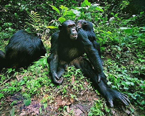 Malen Nach Zahlen DIY Landschaft Affen Dschungelgras Leinwand Wohnzimmer Schlafzimmer Dekoration Kunst Bild Geschenk