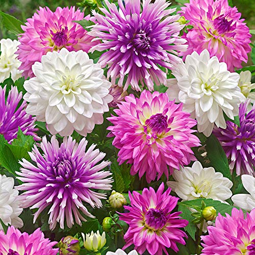 "2x5ST Dahlia""Summer Mix"" 