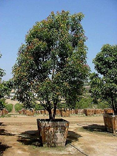 Cinnamonium camphora - Unusual Albero di canfora - 10 semi freschi