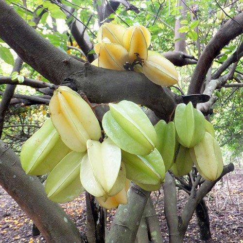 Plant World Seeds - Averrhoa Carambola Seeds
