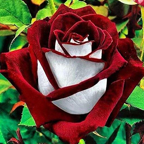 150PCS Rose Flower Seed Hollande Rose Graines amant cadeau arc-RARE 25 exotiques couleurs au choix de bricolage pour les plantes de jardin à la maison 11