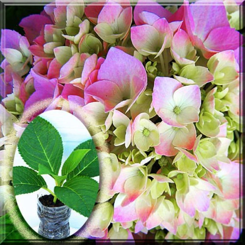 1~2 All Summer Beauty Hydrangea Hortensia Mophead Shrub 2.5