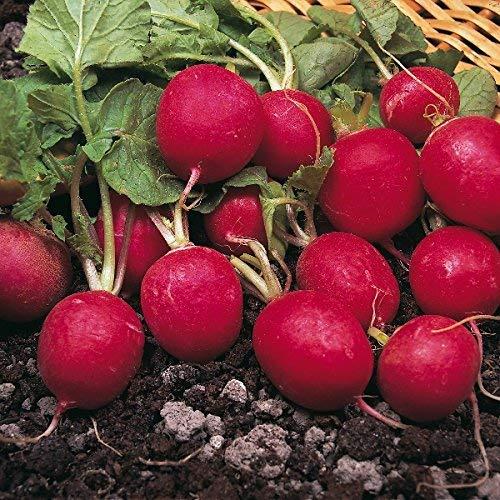 Suffolk Herbes - Bio Radis Saxa - 500 graines
