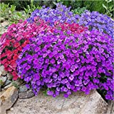 Aubrietia Springtime Mixed Seeds – Pack of 340 Seeds - SOW Directly INTO Your Garden – Ideal for Rockeries or Borders – Flowers Year After Year - in Your Beautiful Garden