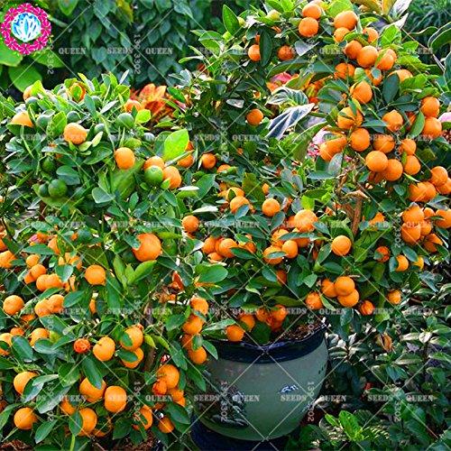 11,11 Big Promotion! 20pcs/lot géant graines orange tangerine orange graines de fruits d'arbres en pot dans le jardin et la maison plante herbacée organique aweet