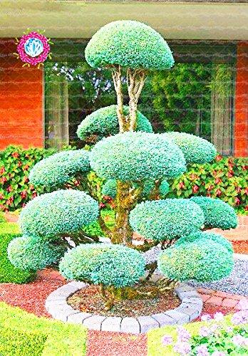 30pcs/sac gaint Deodar graines de cèdre de l'Himalaya cèdre Cedrus Deodara Arbre Graines Arbre du Monde Rare Bonsai jardin usine 1