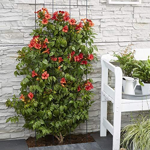 Campsis xTagliabuana FIRE TRUMPET   Bignonia rossa   Pianta rampicante per esterni   Altezza 65-75cm   Vaso Ø 15cm