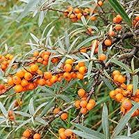 シーベリー(サジー)の苗木 【雄木1本雌木2本/合計3本セット】(雌木品種はフルガナとヘルゴとレイコラです。この中から2品種各1本をセット致します。品種のご指定はできません。品種が変わる場合もあります)3種のビタミンA・C・Eを同一の果実で多量に含んでいるのは、現在知られている果実の中ではシーベリーだけと言われています。 他の果物とともにミックスジュースに、パイ、ジャムや果実酒の材料、スムージーなどに。【※落葉果樹のため、晩秋から早春は葉の無い状態でのお届けとなります。出荷タイミングにより、鉢の形や鉢色が変わる場合があります。商品の特性上、背丈・形・大きさ等、植物には個体差がありますが、同規格のものを送らせて頂いております。また、植物ですので多少の枯れ込みやキズ等がある場合もございますが、予めご了承下さい】