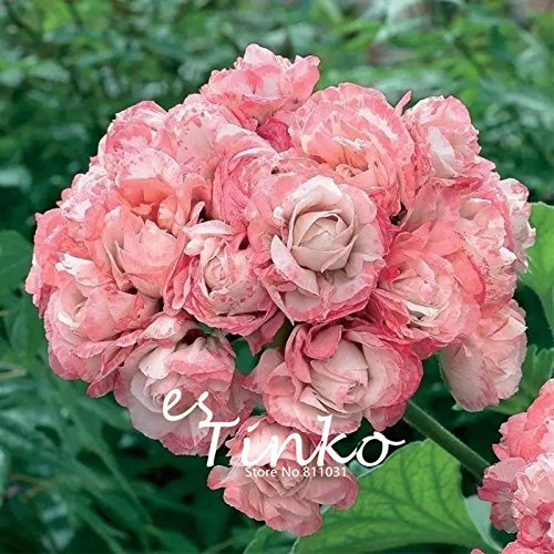 10pcs véritable Pink Geranium Fleurs Graines vivaces Plantes Bonsai Graines Pelargonium graveolens pour Potted Maison et jardin