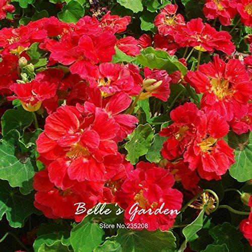 Variétés mixtes capucine Graines Capucine Tropaeolum Majus Graines de fleurs Bonsai Plante en pot bricolage jardin 12