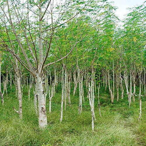 10 Samen Moringa oleifera Samen Baum schnellwüchsig Weiße Blumen Dürre Tolerant Tropical