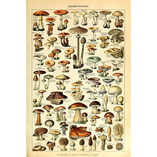 Meishe Art Vintage Poster Print Mushrooms Champignons Identification Reference Chart Diagram Illustration Botanical Educational Wall Decor
