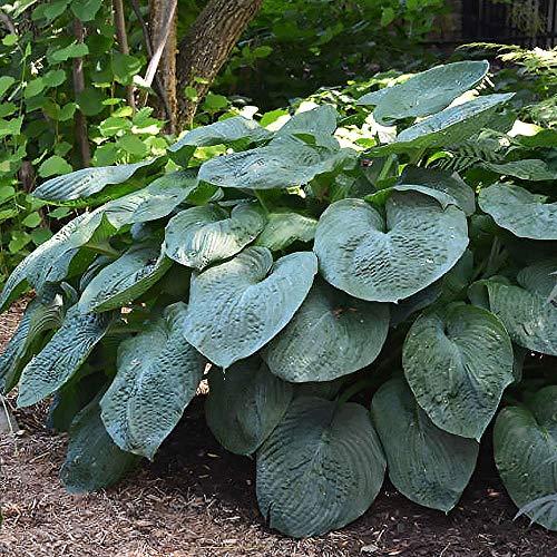 Gartenpflanze Funkien Hosta pflanze Funkien winterhart 1x Rhizome Riesenhosta Elegans