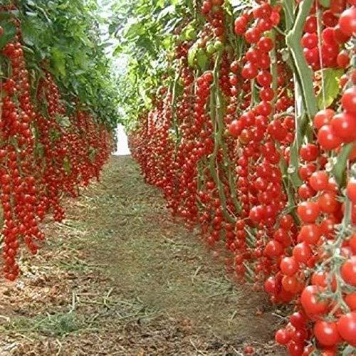Shopmeeko 100 / Beutel Klettern Tomaten Bonsai essbar Tomatenpflanzen Tomaten Gemüse Nicht-GVO-Lebensmittel Topf Hausgartenpflanze: Rot
