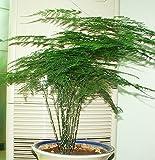 5 semi / vasi di fiori pacchetto fioriere Asparagi semi asparagi seme piantato coltivate indoor balcone facile da piantare cinque stagioni