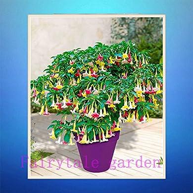 Foto di Semi di datura, 100pcs / bag arcobaleno semi della datura, rari semi di fiori, semi bonsai pacco professionali, piante naturali per giardino di casa