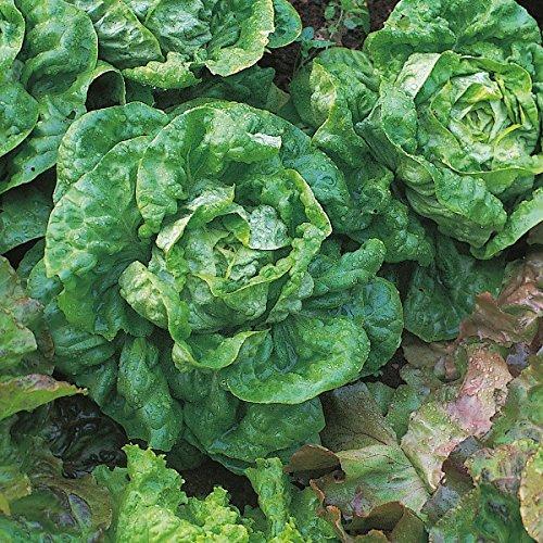 Salade - Toute l'Année - 1400 Graines