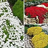 ScoutSeed rojo: D522 semillas de tomillo rastrero 100 piezas cubierta vegetal flor perenne 1 bolsa paisajismo