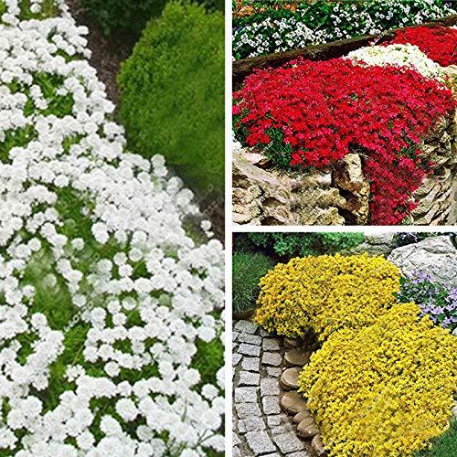ScoutSeed Rot: D522 Creeping Thymian Seeds 100pcs Bodendecker Blume Mehrjährige 1 Beutel Landschaftsbau