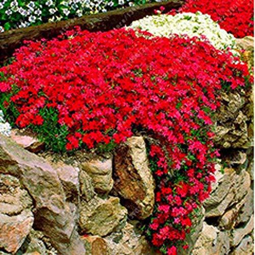 Keptei Samenhaus - 100 Stück Steinkraut Blumen Samen Seltenen Gänsekresse Arabis Samen Blumenmeer Winterhart Mehrjährige Pflanzen für Haus Garten