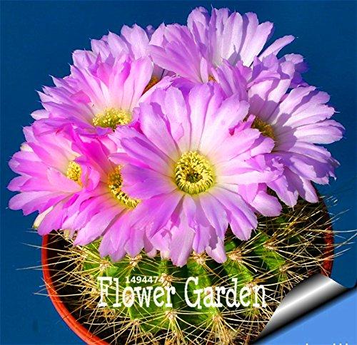 ! Promotion 10 Pcs / pack Celestial Being graines - les planteurs bonsaï graines de plantes en pot anti-rayonnement pot de cactus, # W6GIC4