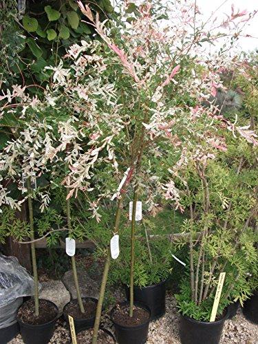 Lj4S - Grand Saule Crevette En Tige:Salix Integra Hakuro Nishiki