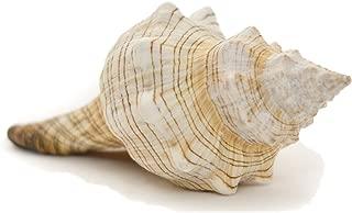 Striped Fox Sea Shell   Striped Fox Conch Sea Shells   6