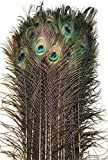 American Feathers Eyed Peacock Tail Feathers 30-35' (25)