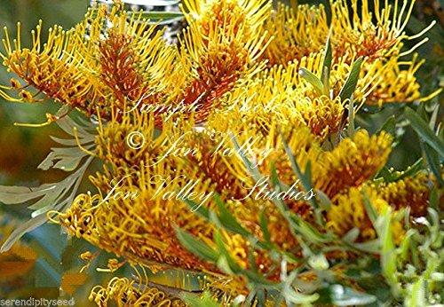 Grevillea Robusta Australian Silver Oak Graines d'or Fleurs tropicales à feuilles persistantes