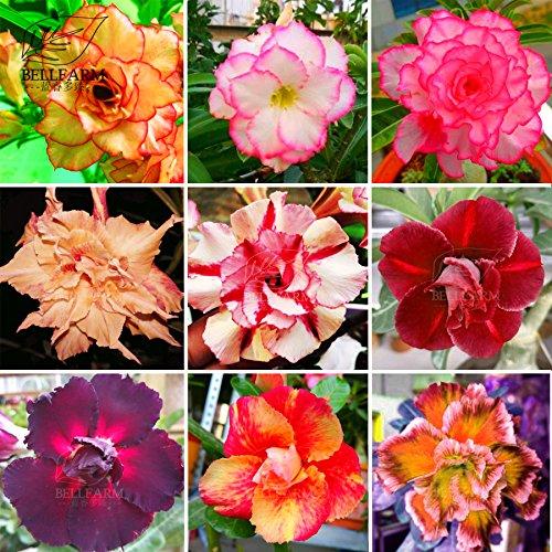 New Adenium Mixed 9 Types Double Petals Colorful Bonsai Desert Rose Seeds, 10+ pcs