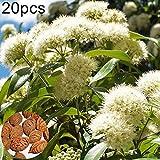 catkoo 20pz semi di mirto al limone backhousia citriodora arbusto da giardino piante da giardino, non ogm, ricchi di vitamina c semi di limone mirto