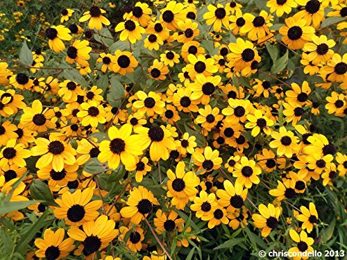 Pinkdose Rudbeckia, Goldsturm, Brown-eyed Susan (5000 Seeds)