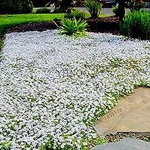 SVI Fresh 205pcs Rock cress Flower Seeds for Planting White