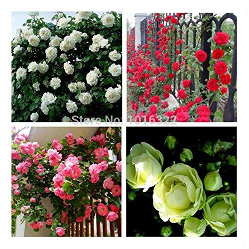 Vasons Planters 450 semences Rouge Rose chinois vert Graines White Rose chaque couleur 150 graines Bonsai plantes Semences pour la maison et le jardin