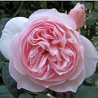 Own-Root One Gallon Heritage David Austin Rose by Heirloom Roses