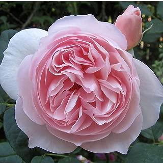 Best david austin garden roses cut Reviews