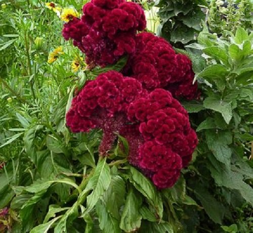 30 + Cramer Bourgogne Celosia Graines de fleurs/Cristata / annuel