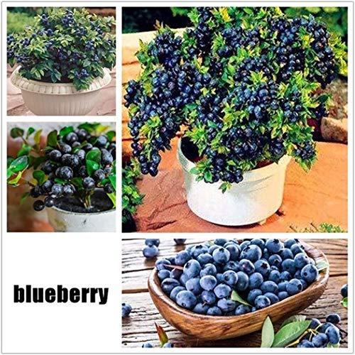 Cioler 30 Stücke Obstsamen Blaubeere Samen Mini Bonsai Hausgarten Obst Bäume Outdoor Obst Samen für Garten Pflanzen