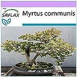 SAFLAX - Mirto - 30 semillas - Myrtus communis