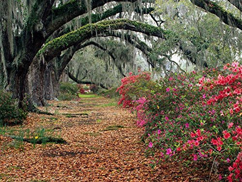 Azaleas And Live Oaks Magnolia Plantation Charleston South-Carolina -Oil Painting On Canvas Modern Wall Art Pictures For Home Decoration Wooden Framed (20X16 Inch, Framed)