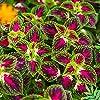 Semi di Coleus Rainbow - Coleus hybridus - 15 semi #1