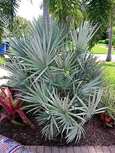 5 Argent Saw Palmetto Arbuste Blanc Fleur Fruit Rouge Noir Serenoa Repens Graines