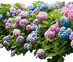 Endless Summer Original Mophead Hydrangea - Live Plant - 3 Gallon Pot